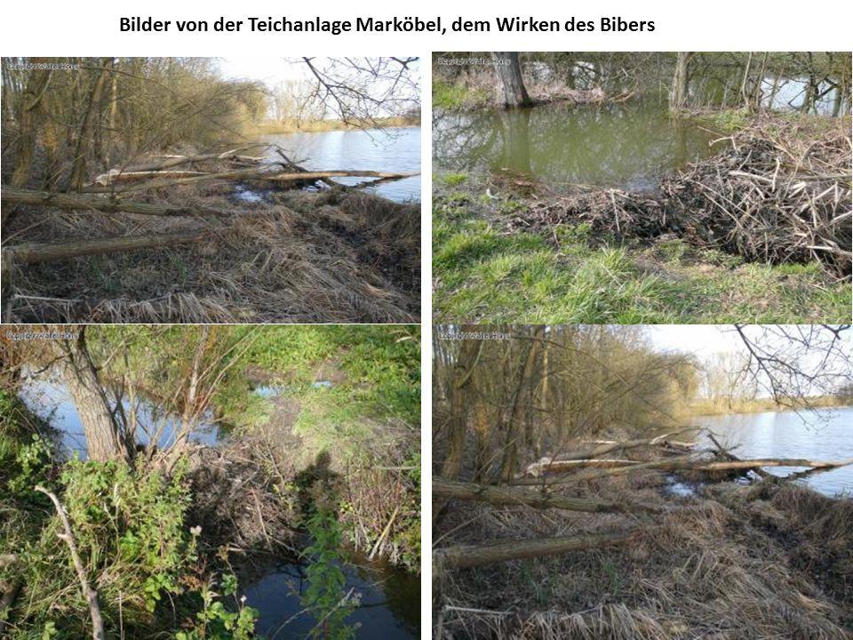 Bilder von der Teichanlage Marköbel, dem Wirken des Bibers