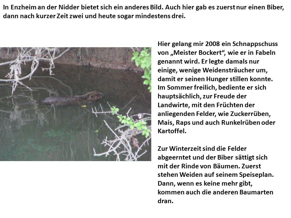 In Enzheim an der Nidder bietet sich ein anderes Bild. Auch hier gab es zuerst nur einen Biber, dann nach kurzer Zeit zwei und heute sogar mindestens