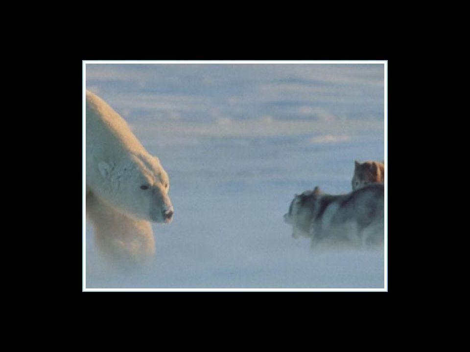 Der Fotograf glaubte seine Huskies bereits vom Eisbär gefressen, der plötzlich auftauchte...