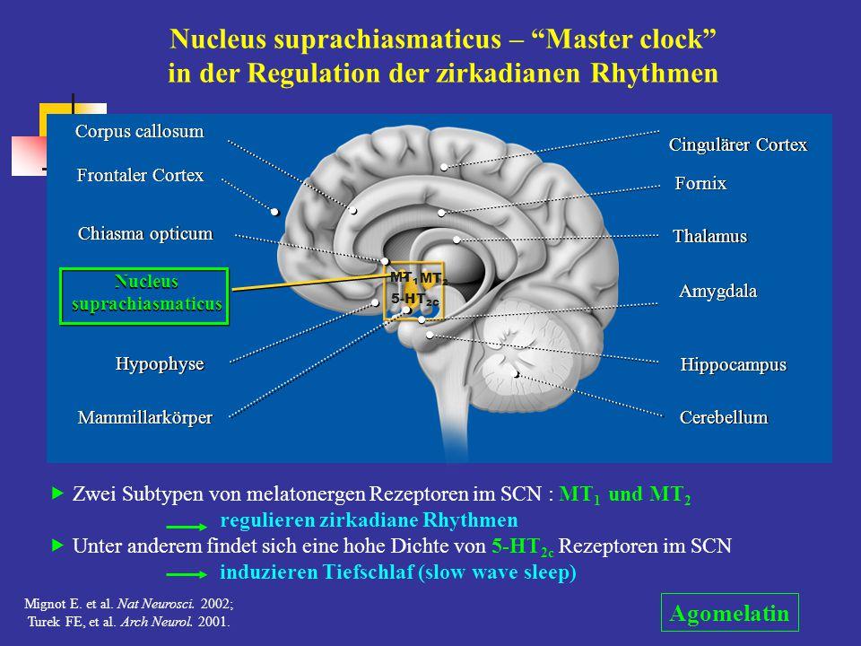 """Nucleus suprachiasmaticus – """"Master clock"""" in der Regulation der zirkadianen Rhythmen  Zwei Subtypen von melatonergen Rezeptoren im SCN : MT 1 und MT"""