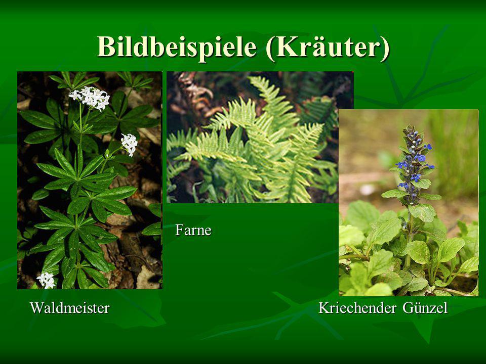 Bildbeispiele (Kräuter) Farne Farne Waldmeister Kriechender Günzel