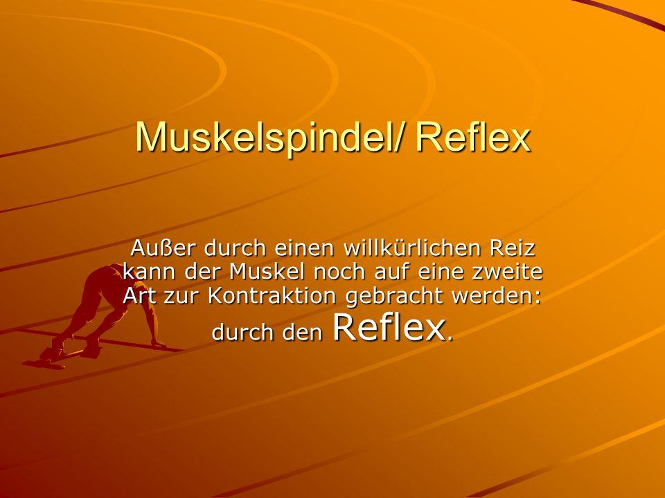 Muskelspindel/ Reflex Außer durch einen willkürlichen Reiz kann der Muskel noch auf eine zweite Art zur Kontraktion gebracht werden: durch den Reflex.