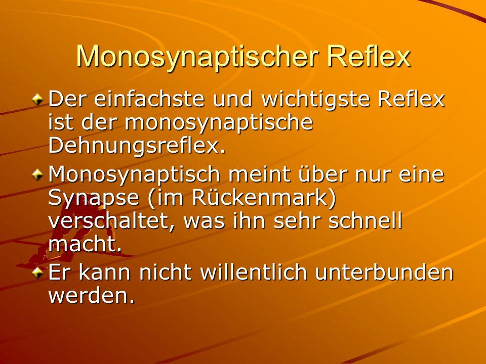 Monosynaptischer Reflex Der einfachste und wichtigste Reflex ist der monosynaptische Dehnungsreflex. Monosynaptisch meint über nur eine Synapse (im Rü