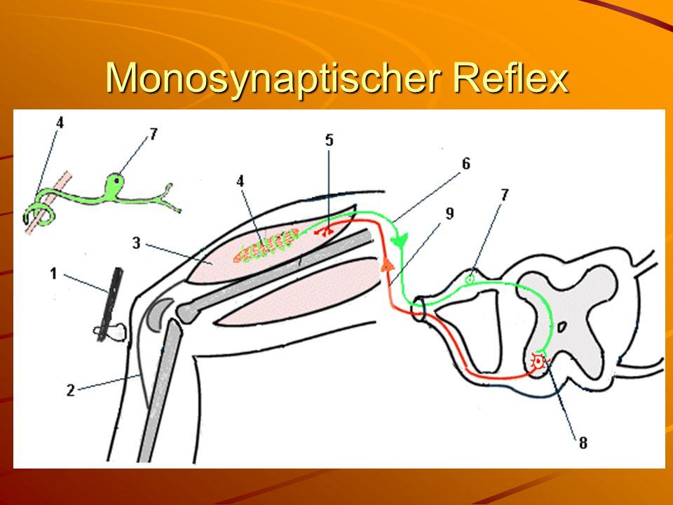 Muskelspindel Eine Dehnung der Muskelspindel führt zu einer Kontraktion des Muskels.