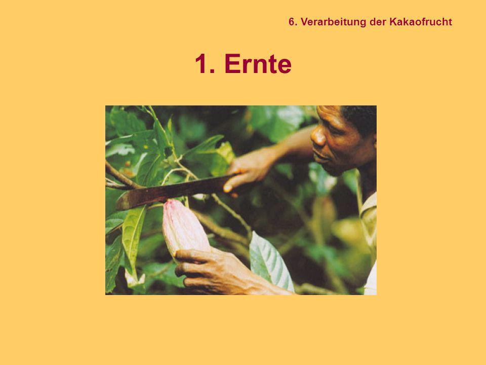 1. Ernte 6. Verarbeitung der Kakaofrucht