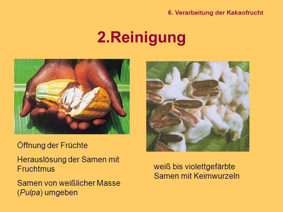2.Reinigung Öffnung der Früchte Herauslösung der Samen mit Fruchtmus Samen von weißlicher Masse (Pulpa) umgeben weiß bis violettgefärbte Samen mit Kei