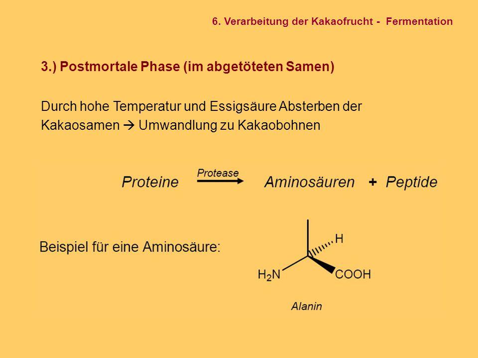3.) Postmortale Phase (im abgetöteten Samen) Durch hohe Temperatur und Essigsäure Absterben der Kakaosamen  Umwandlung zu Kakaobohnen 6. Verarbeitung
