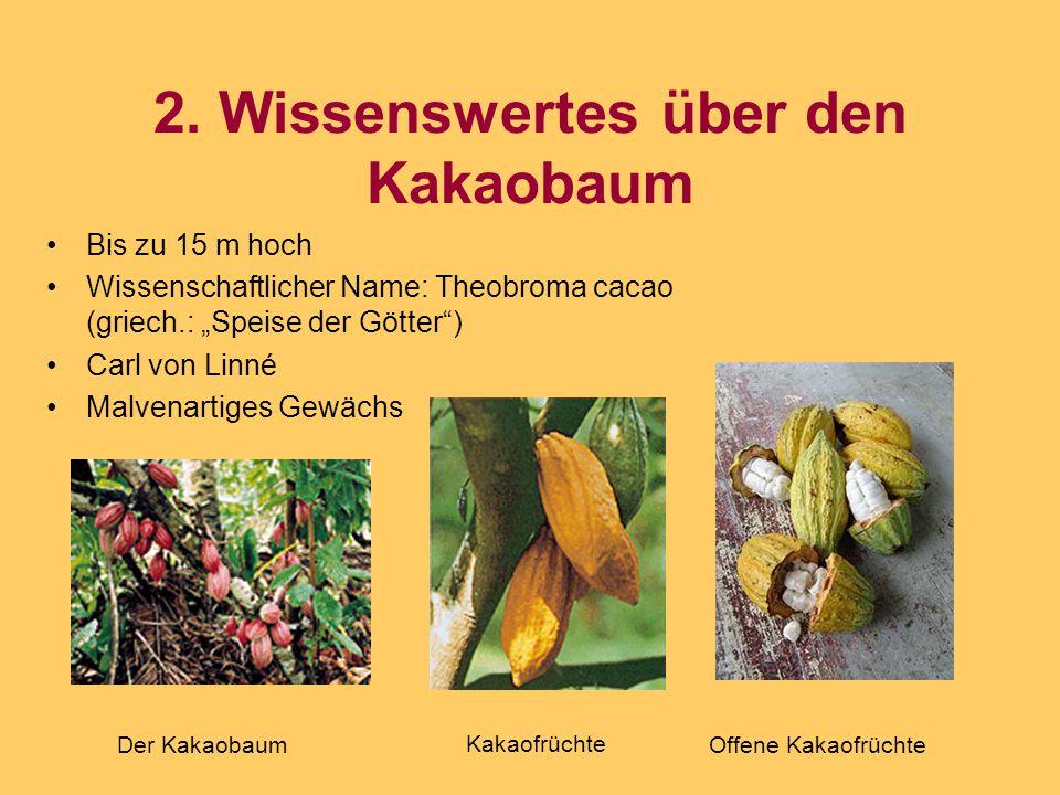"""2. Wissenswertes über den Kakaobaum Bis zu 15 m hoch Wissenschaftlicher Name: Theobroma cacao (griech.: """"Speise der Götter"""") Carl von Linné Malvenarti"""