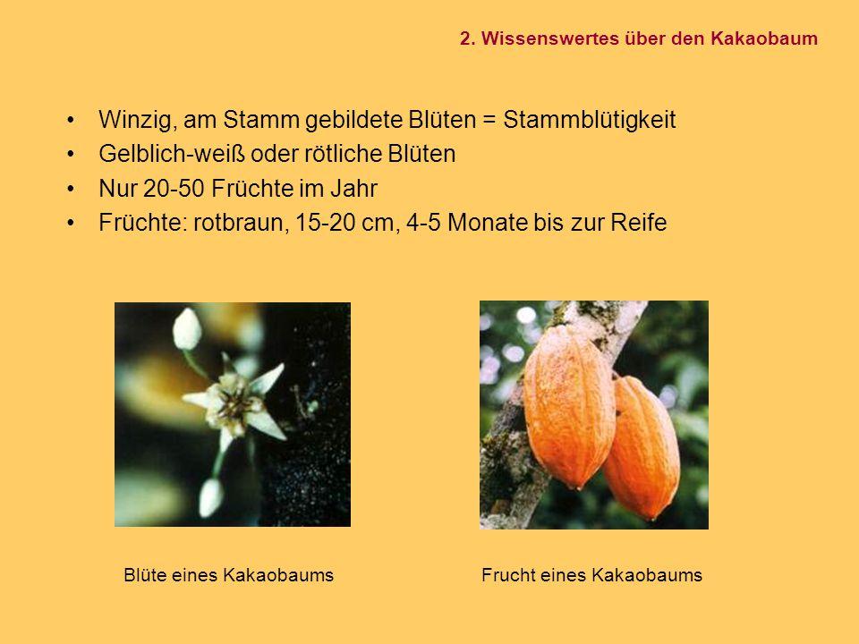 Winzig, am Stamm gebildete Blüten = Stammblütigkeit Gelblich-weiß oder rötliche Blüten Nur 20-50 Früchte im Jahr Früchte: rotbraun, 15-20 cm, 4-5 Mona