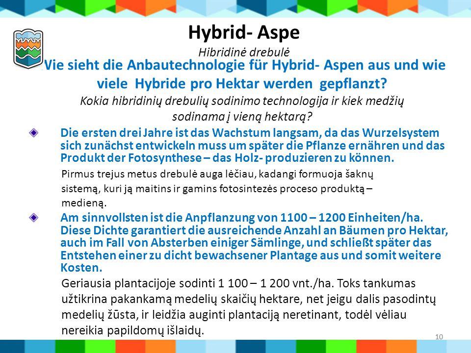10 Wie sieht die Anbautechnologie für Hybrid- Aspen aus und wie viele Hybride pro Hektar werden gepflanzt? Kokia hibridinių drebulių sodinimo technolo