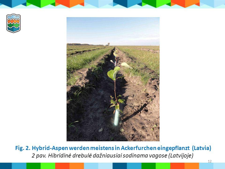 12 Fig. 2. Hybrid-Aspen werden meistens in Ackerfurchen eingepflanzt (Latvia) 2 pav. Hibridinė drebulė dažniausiai sodinama vagose (Latvijoje) 12