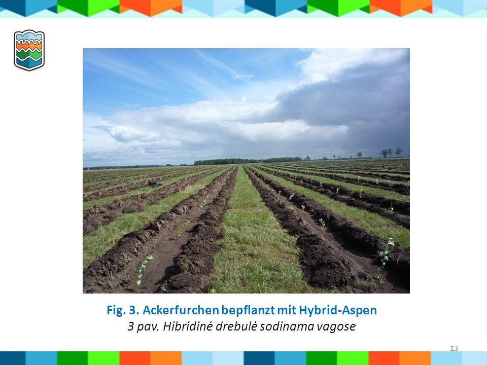 13 Fig. 3. Ackerfurchen bepflanzt mit Hybrid-Aspen 3 pav. Hibridinė drebulė sodinama vagose 13