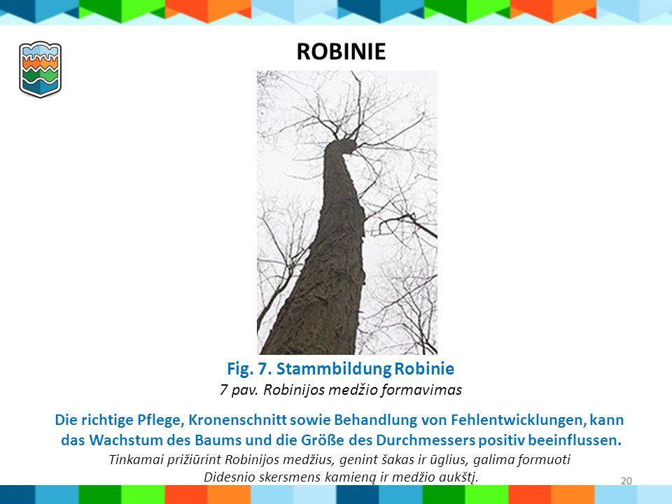 20 Fig. 7. Stammbildung Robinie 7 pav. Robinijos medžio formavimas ROBINIE Die richtige Pflege, Kronenschnitt sowie Behandlung von Fehlentwicklungen,