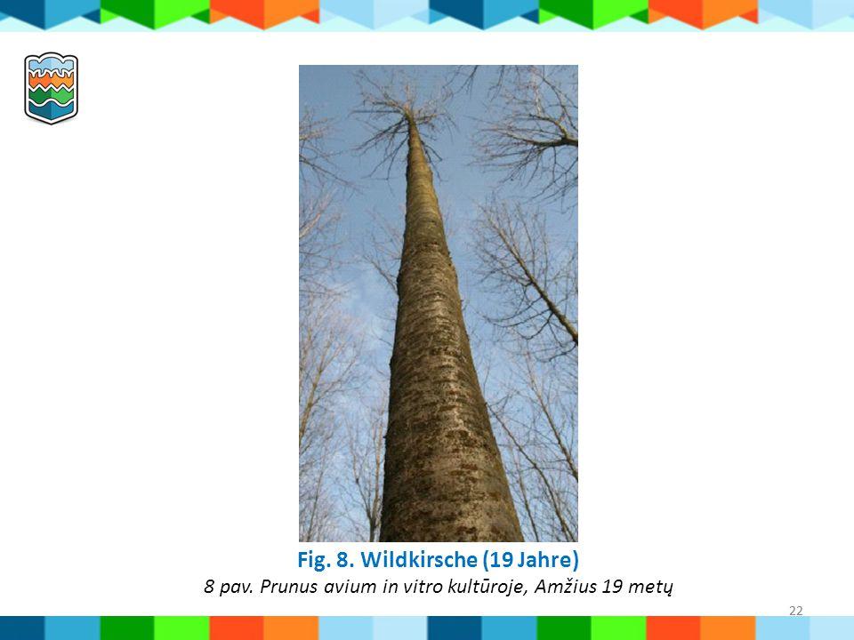 22 Fig. 8. Wildkirsche (19 Jahre) 8 pav. Prunus avium in vitro kultūroje, Amžius 19 metų 22