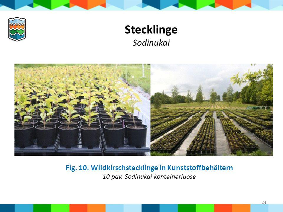 24 Fig. 10. Wildkirschstecklinge in Kunststoffbehältern 10 pav. Sodinukai konteineriuose 24