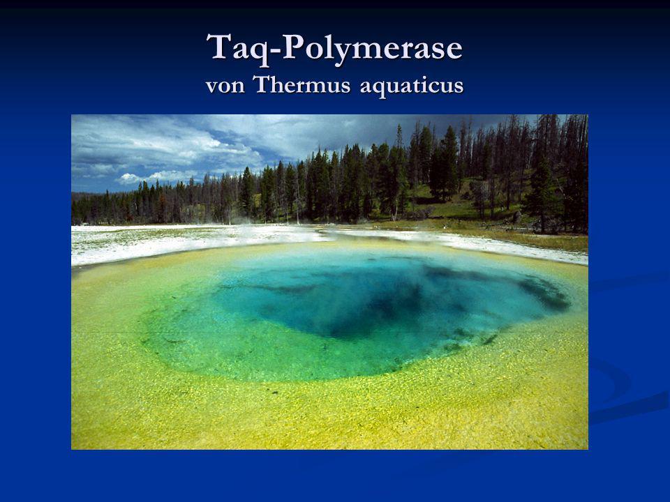 Taq-Polymerase von Thermus aquaticus Verwendet wird eine hitzestabile DNA- Polymerase aus dem Bakterium Thermophilus aquaticus Verwendet wird eine hit