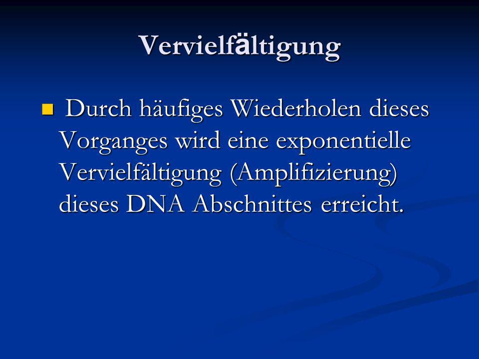 Vervielf ä ltigung Durch häufiges Wiederholen dieses Vorganges wird eine exponentielle Vervielfältigung (Amplifizierung) dieses DNA Abschnittes erreic