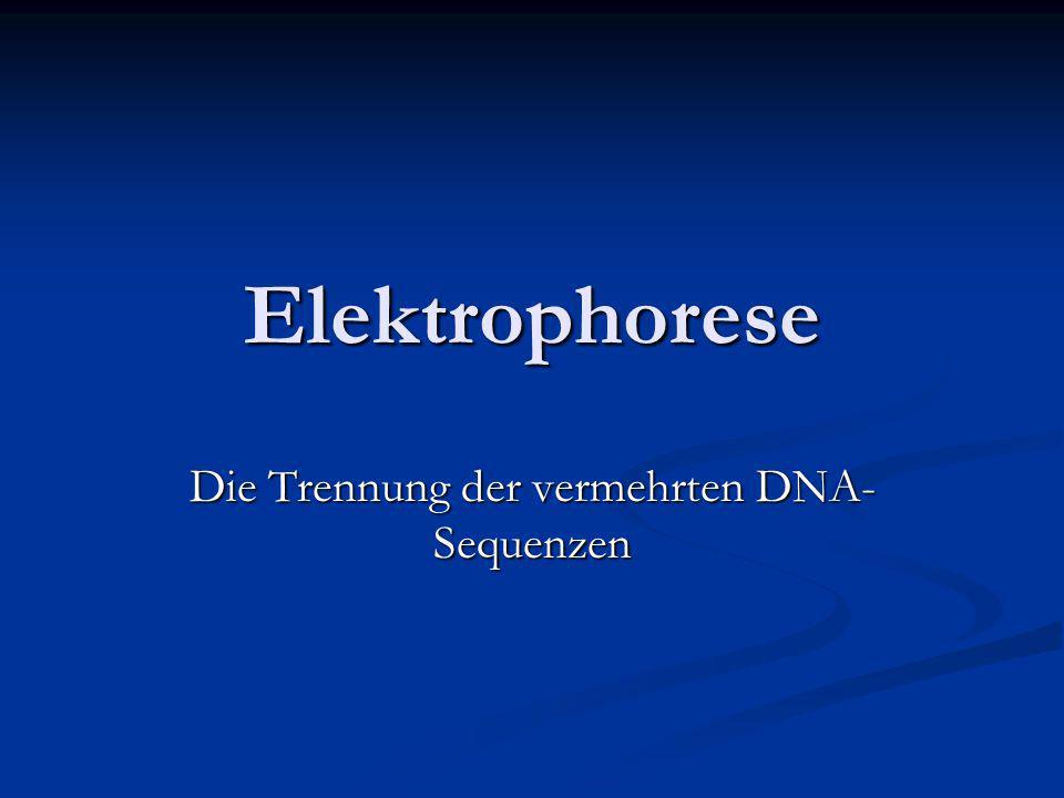 Elektrophorese Die Trennung der vermehrten DNA- Sequenzen
