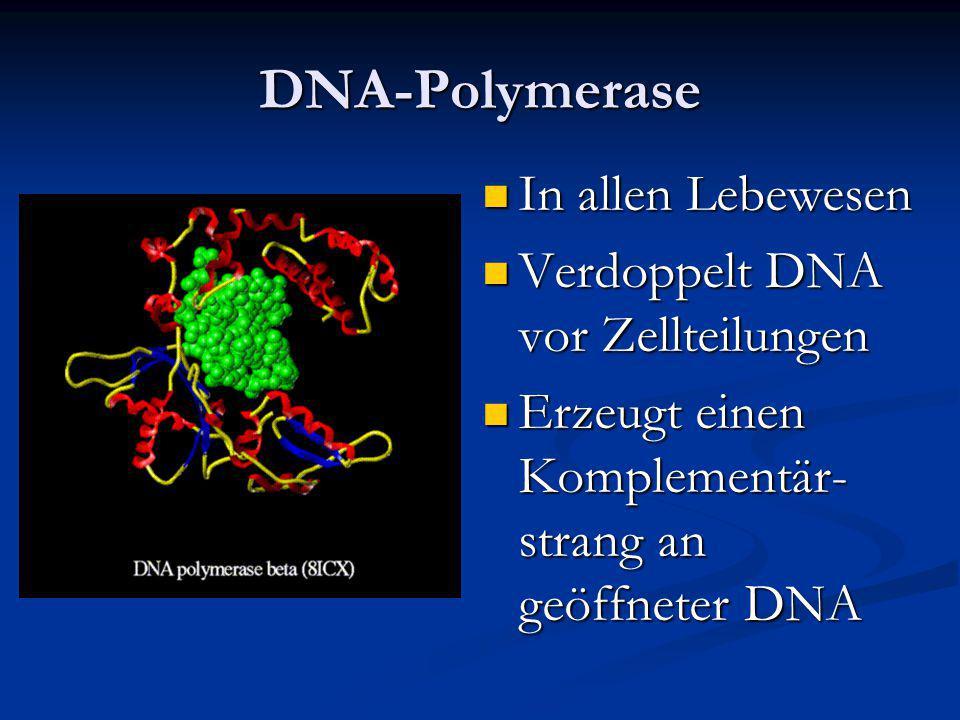 DNA-Polymerase In allen Lebewesen Verdoppelt DNA vor Zellteilungen Erzeugt einen Komplementär- strang an geöffneter DNA