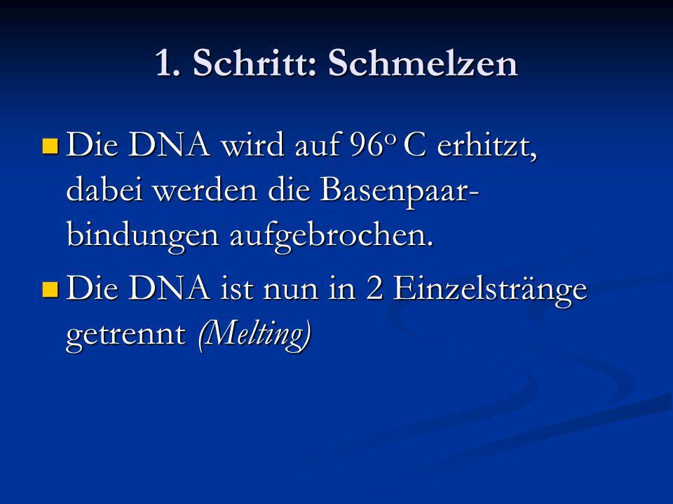 1. Schritt: Schmelzen Die DNA wird auf 96 o C erhitzt, dabei werden die Basenpaar- bindungen aufgebrochen. Die DNA wird auf 96 o C erhitzt, dabei werd