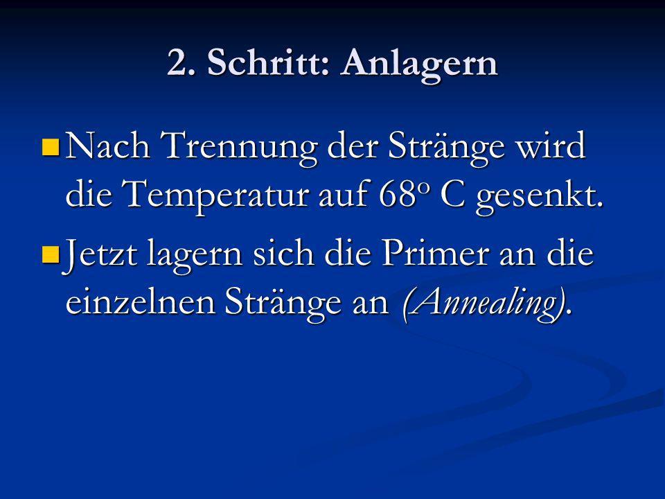 2. Schritt: Anlagern Nach Trennung der Stränge wird die Temperatur auf 68 o C gesenkt. Nach Trennung der Stränge wird die Temperatur auf 68 o C gesenk