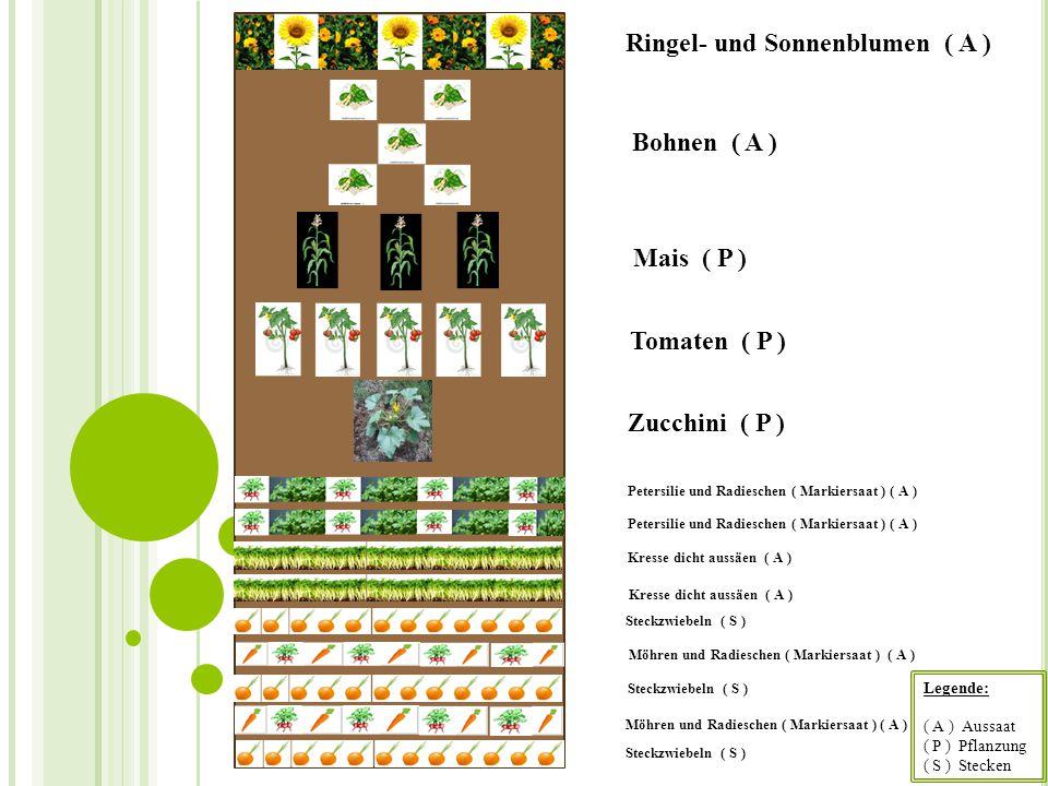 Steckzwiebeln ( S ) Möhren und Radieschen ( Markiersaat ) ( A ) Petersilie und Radieschen ( Markiersaat ) ( A ) Kresse dicht aussäen ( A ) Steckzwiebe