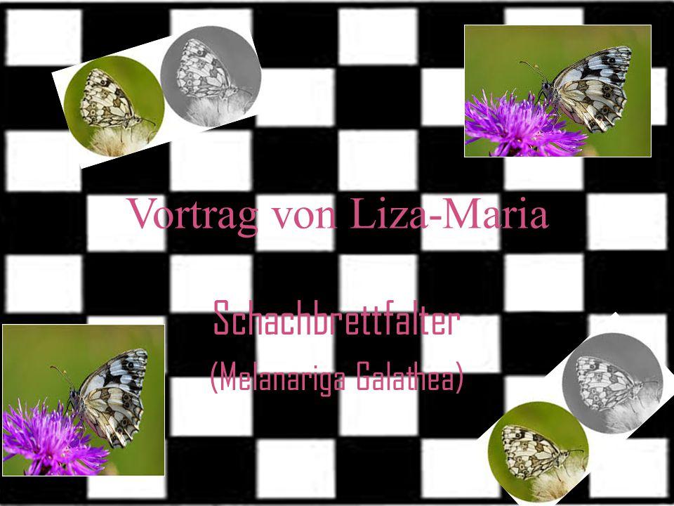 Schachbrettfalter (Melanariga Galathea) Vortrag von Liza-Maria