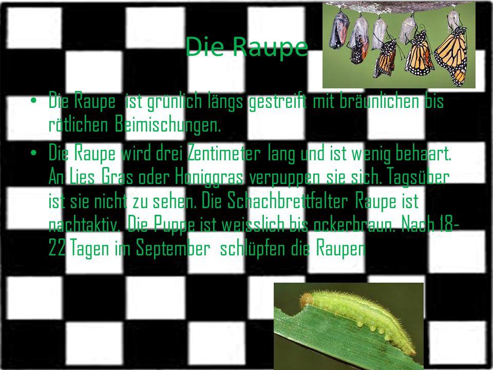 Die Raupe Die Raupe ist grünlich längs gestreift mit bräunlichen bis rötlichen Beimischungen. Die Raupe wird drei Zentimeter lang und ist wenig behaar