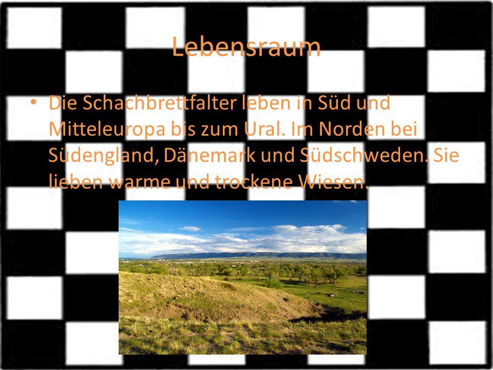 Lebensraum Die Schachbrettfalter leben in Süd und Mitteleuropa bis zum Ural. Im Norden bei Südengland, Dänemark und Südschweden. Sie lieben warme und