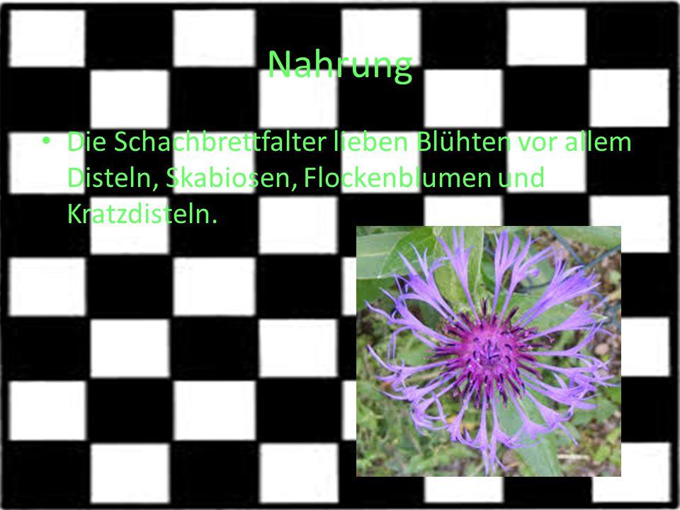 Nahrung Die Schachbrettfalter lieben Blühten vor allem Disteln, Skabiosen, Flockenblumen und Kratzdisteln.