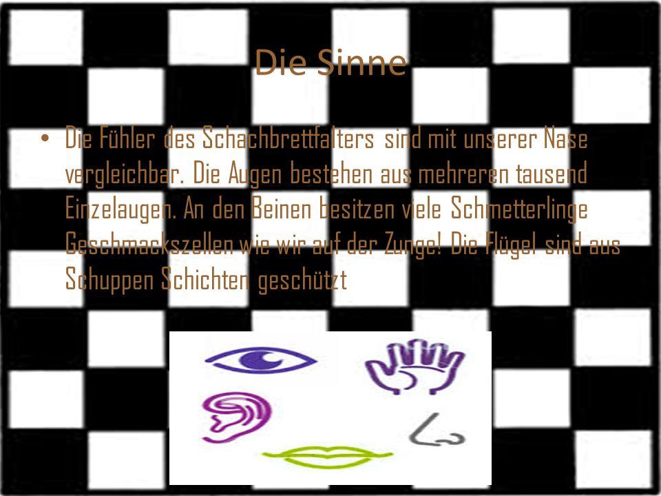 Die Sinne Die Fühler des Schachbrettfalters sind mit unserer Nase vergleichbar. Die Augen bestehen aus mehreren tausend Einzelaugen. An den Beinen bes