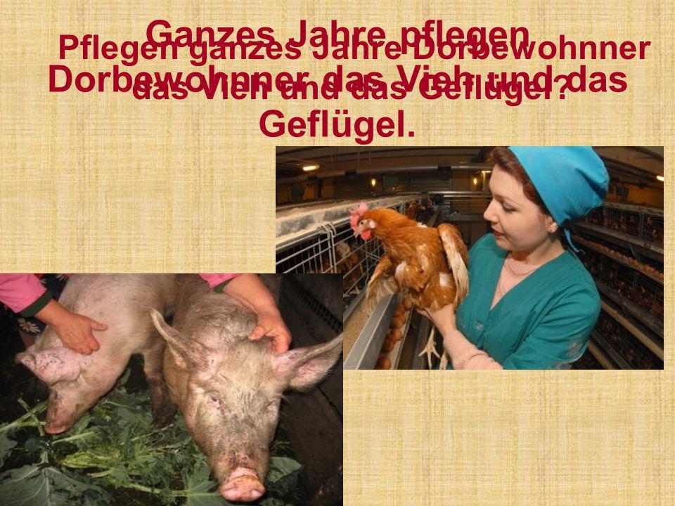 Ganzes Jahre pflegen Dorbewohnner das Vieh und das Geflügel. Pflegen ganzes Jahre Dorbewohnner das Vieh und das Geflügel?
