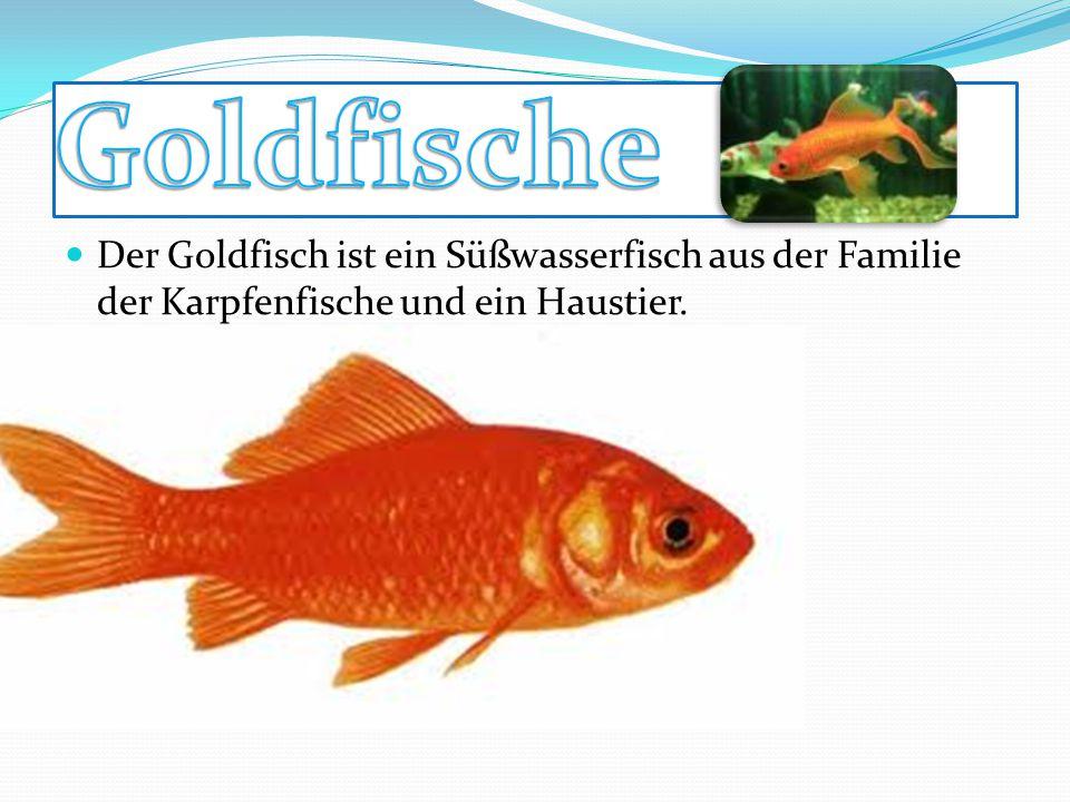 Der Goldfisch ist ein Süßwasserfisch aus der Familie der Karpfenfische und ein Haustier.