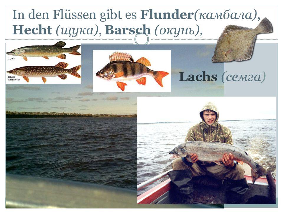 In den Flüssen gibt es Flunder(камбала), Hecht (щука), Barsch (окунь), Lachs (семга)