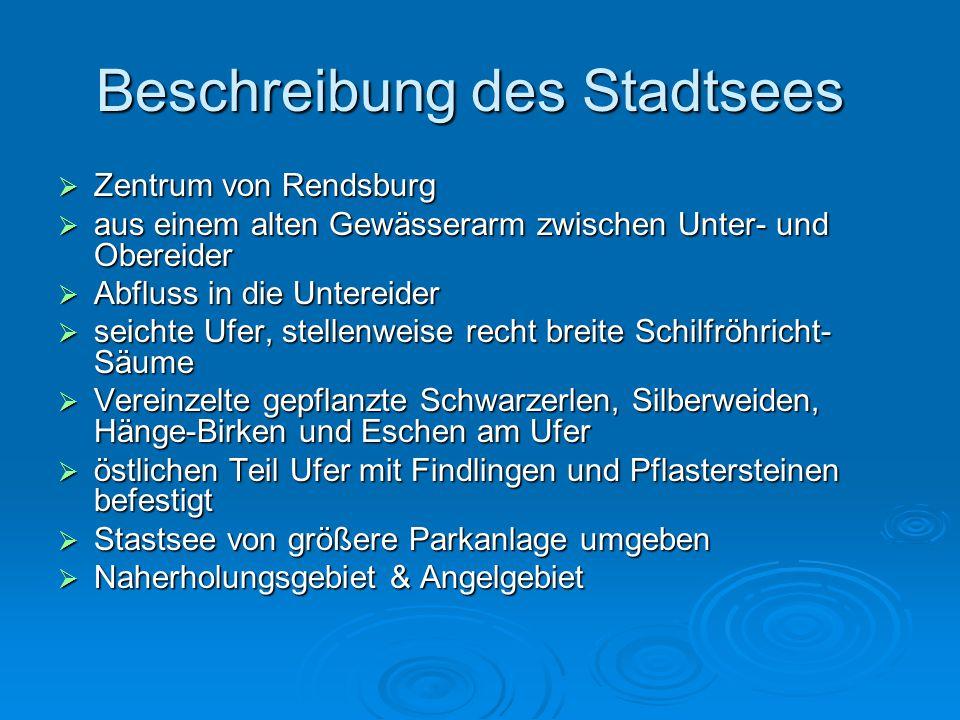 Beschreibung des Stadtsees  Zentrum von Rendsburg  aus einem alten Gewässerarm zwischen Unter- und Obereider  Abfluss in die Untereider  seichte U