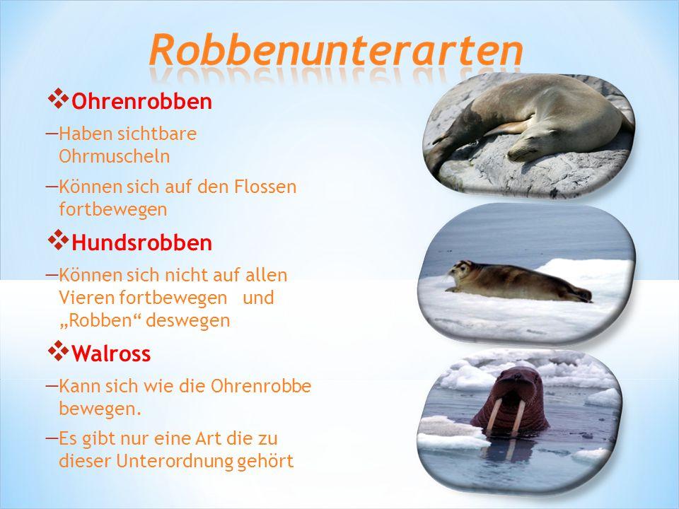 """ Ohrenrobben  Haben sichtbare Ohrmuscheln  Können sich auf den Flossen fortbewegen  Hundsrobben  Können sich nicht auf allen Vieren fortbewegen und """"Robben deswegen  Walross  Kann sich wie die Ohrenrobbe bewegen."""