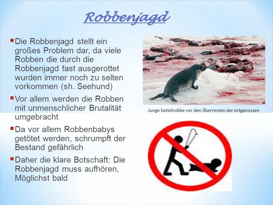  Die Robbenjagd stellt ein großes Problem dar, da viele Robben die durch die Robbenjagd fast ausgerottet wurden immer noch zu selten vorkommen (sh.
