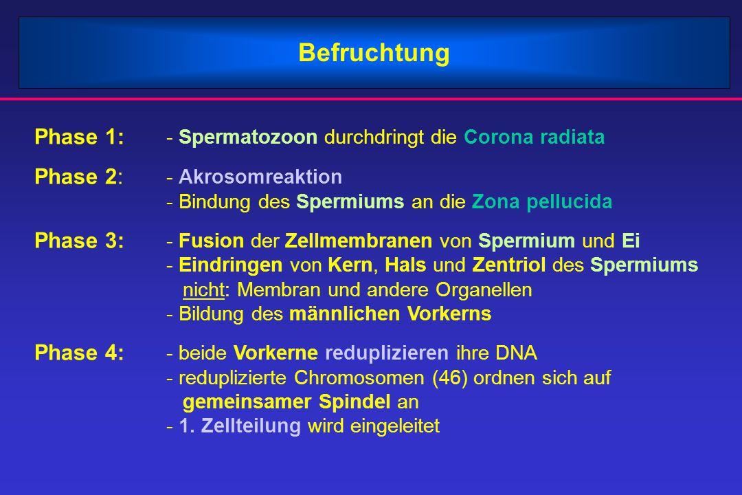 Befruchtung Phase 1: - Spermatozoon durchdringt die Corona radiata Phase 2: - Akrosomreaktion - Bindung des Spermiums an die Zona pellucida Phase 3: -