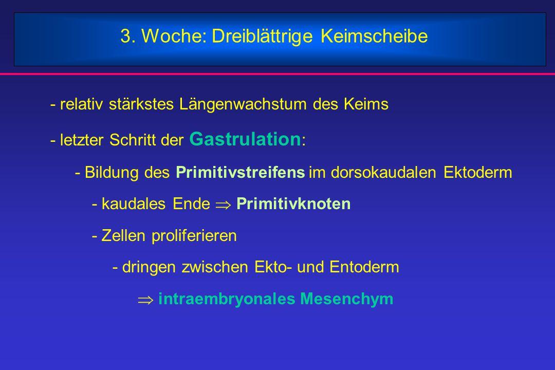 3. Woche: Dreiblättrige Keimscheibe - relativ stärkstes Längenwachstum des Keims - letzter Schritt der Gastrulation :  - Bildung des Primitivstreifen
