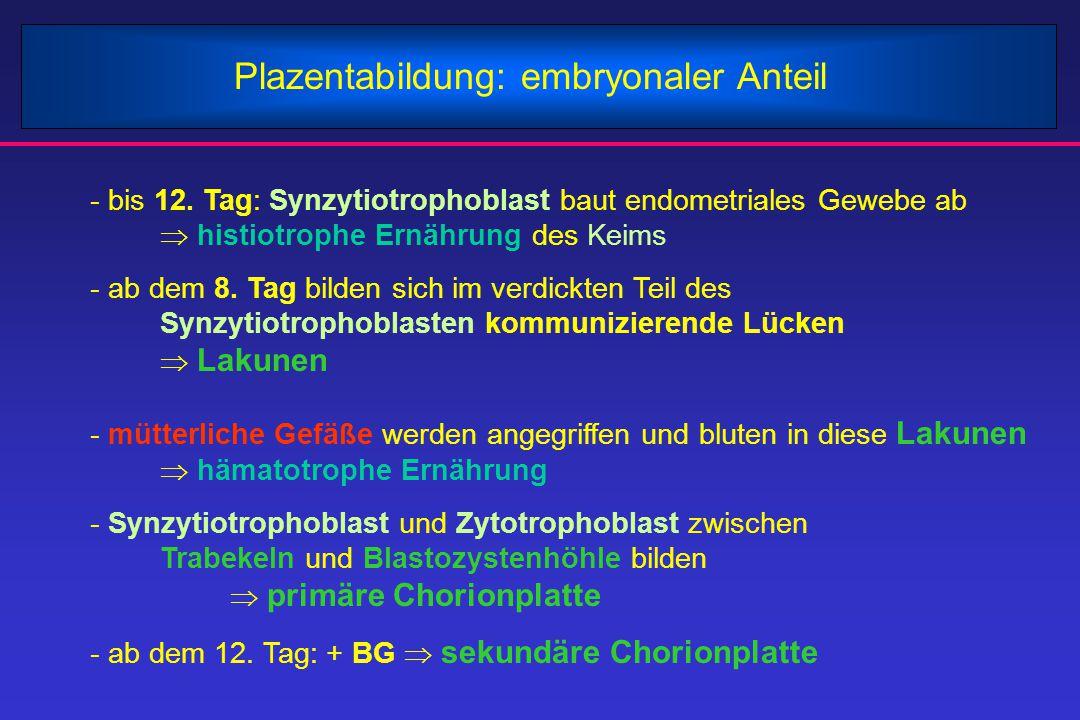 Plazentabildung: embryonaler Anteil - bis 12. Tag: Synzytiotrophoblast baut endometriales Gewebe ab  histiotrophe Ernährung des Keims - ab dem 8. Tag
