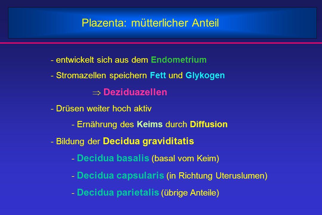 Plazenta: mütterlicher Anteil - entwickelt sich aus dem Endometrium - Stromazellen speichern Fett und Glykogen  Deziduazellen - Drüsen weiter hoch ak