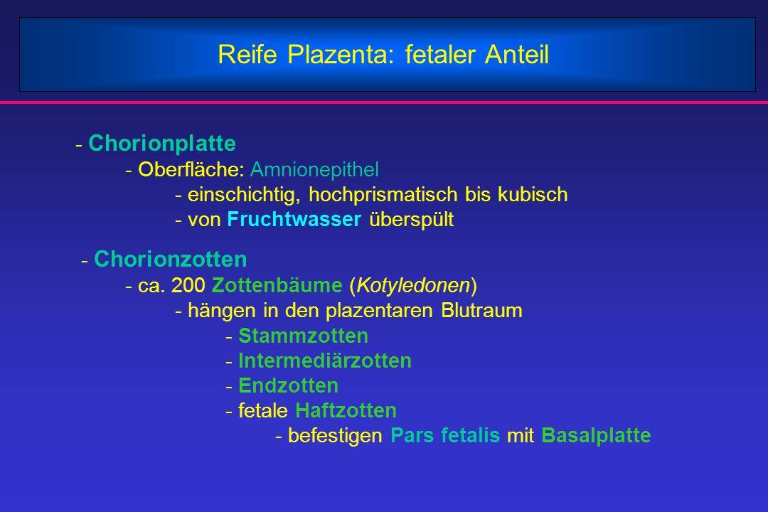Reife Plazenta: fetaler Anteil - Chorionplatte - Oberfläche: Amnionepithel - einschichtig, hochprismatisch bis kubisch - von Fruchtwasser überspült -