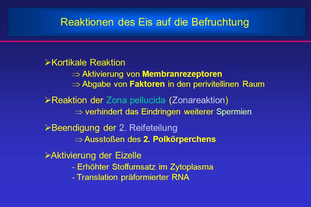 Ergebnisse der Befruchtung  Wiederherstellung des diploiden Chromosomensatzes  Kombination je eines homologen Chromosoms von Vater und Mutter  Determination des genetischen Geschlechts - XX: weiblich - XY: männlich  Variation des menschlichen Phänotyps - durch neue Kombination von Chromosomen  Induktion der Furchungsteilungen - mitotische Teilung der Zygote in Blastomeren