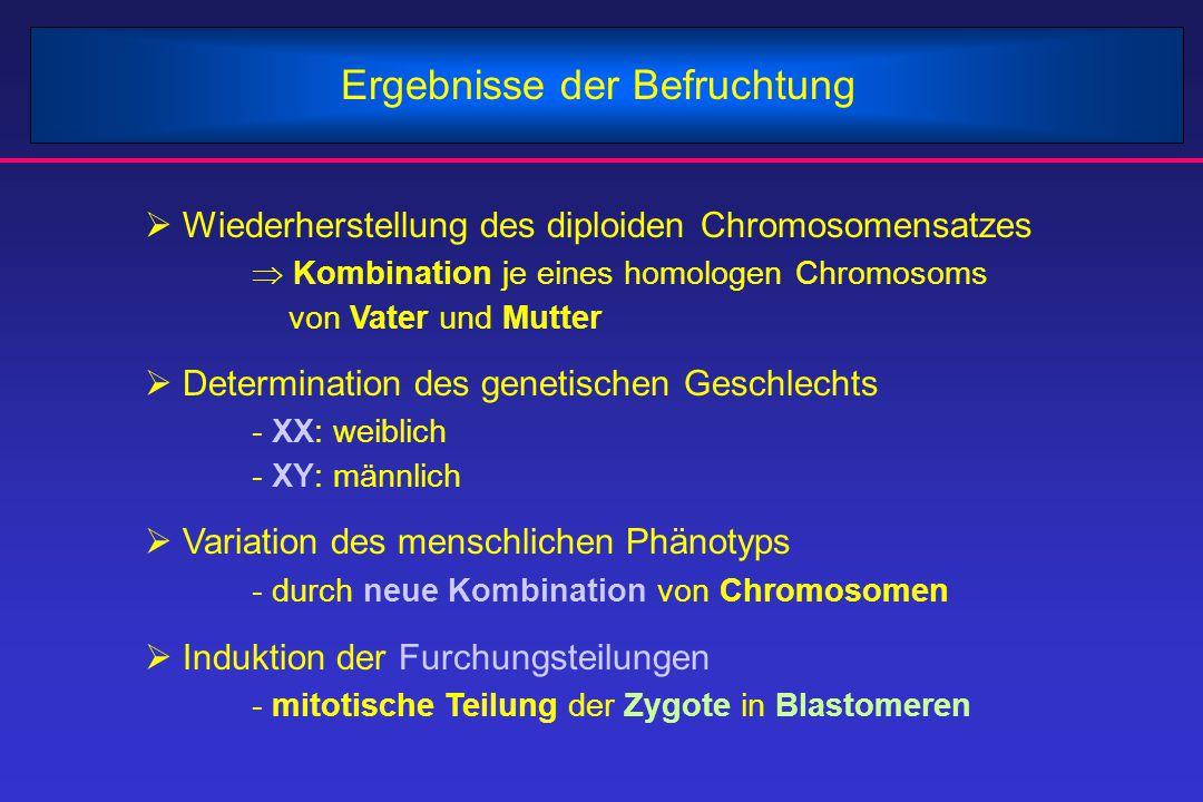 Ergebnisse der Befruchtung  Wiederherstellung des diploiden Chromosomensatzes  Kombination je eines homologen Chromosoms von Vater und Mutter  Dete