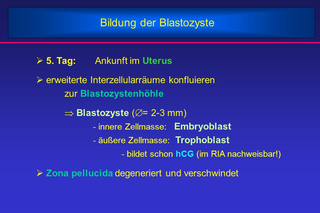 Implantation - meist im oberen Drittel der Hinterwand des Uterus - Keim 6 Tage alt - nach Kontakt mit der Uterusoberfläche: - Verschmelzen der oberflächlichen Trophoblastzellen  Synzytiotrophoblast - übriger, darrunterliegender Trophoblast:  Zytotrophoblast - Eindringen abgeschlossen am 11.