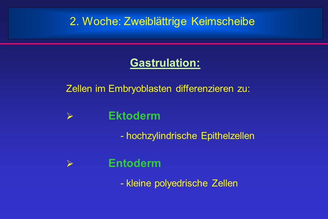 2. Woche: Zweiblättrige Keimscheibe Gastrulation: Zellen im Embryoblasten differenzieren zu:  Ektoderm - hochzylindrische Epithelzellen  Entoderm -