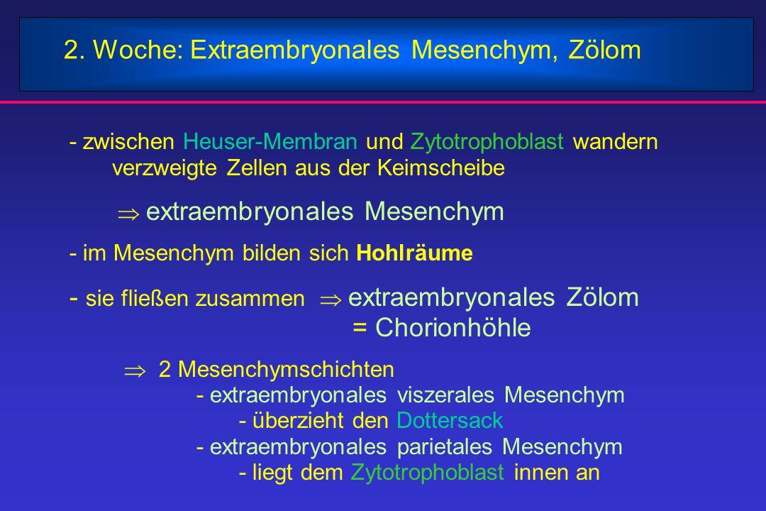 2. Woche: Extraembryonales Mesenchym, Zölom - zwischen Heuser-Membran und Zytotrophoblast wandern verzweigte Zellen aus der Keimscheibe  extraembryo
