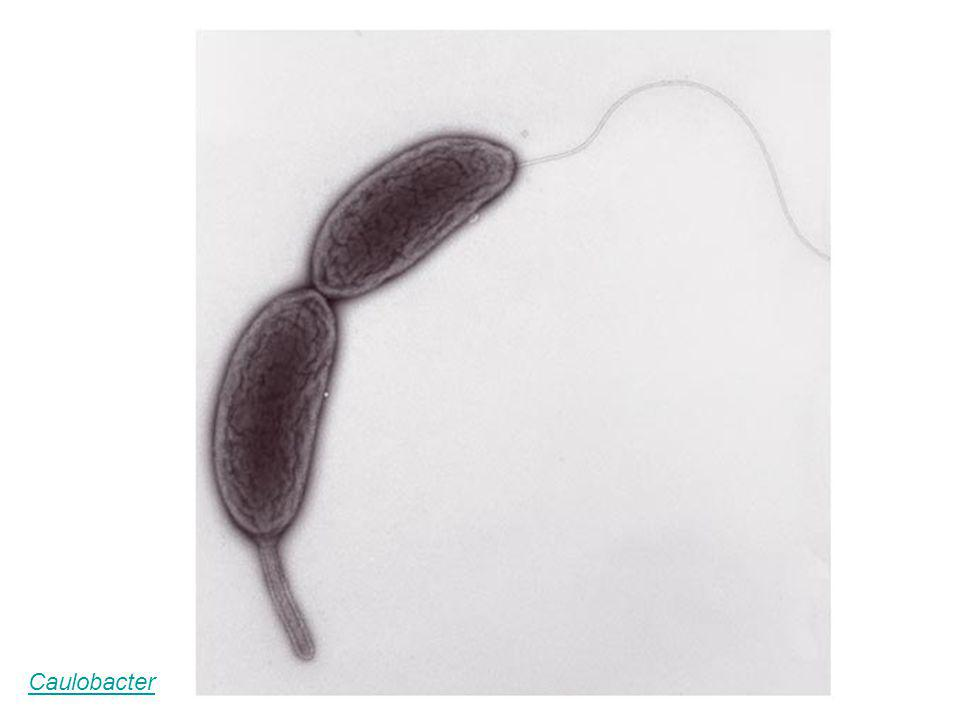 Caulobacter