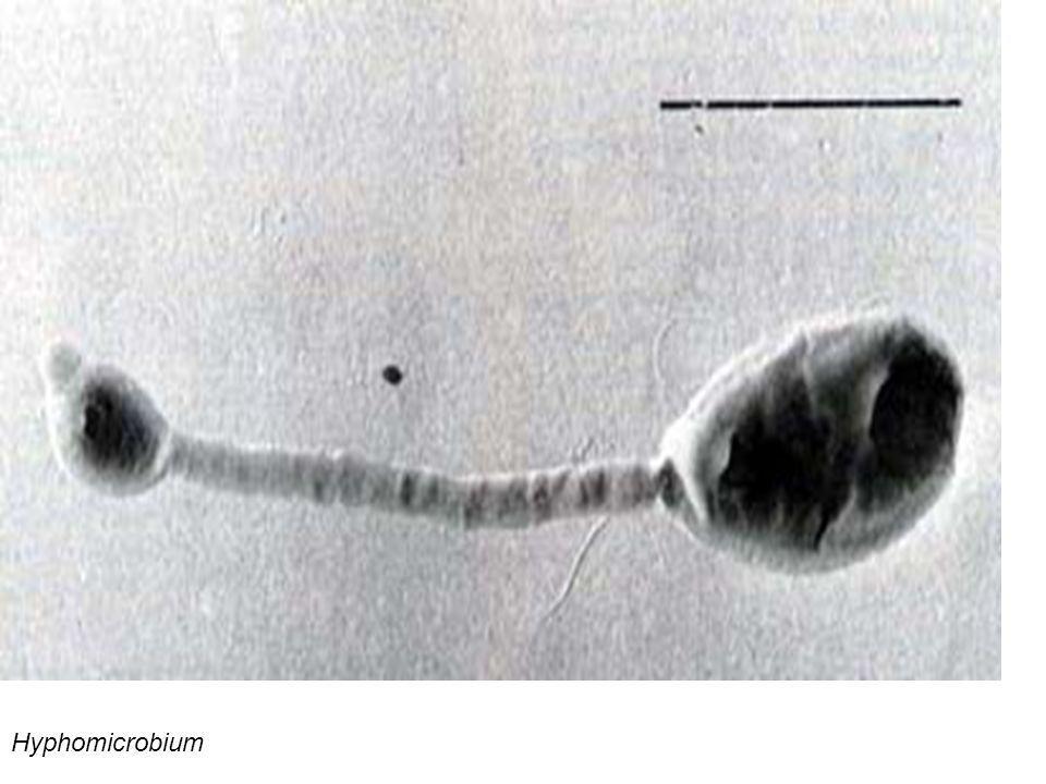 Hyphomicrobium