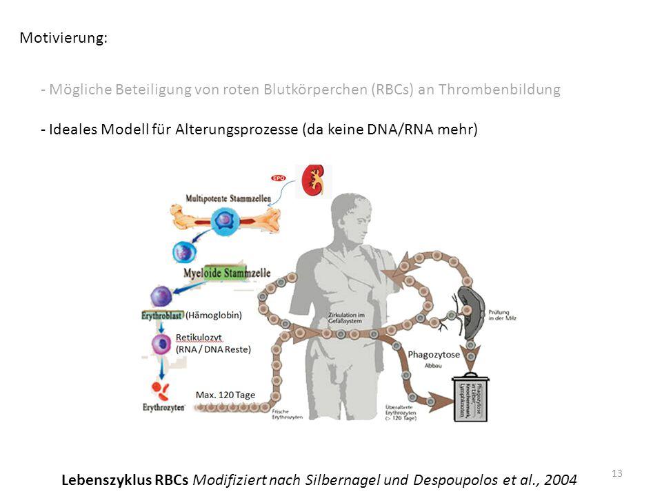 Motivierung: - Mögliche Beteiligung von roten Blutkörperchen (RBCs) an Thrombenbildung - Ideales Modell für Alterungsprozesse (da keine DNA/RNA mehr) 13 Lebenszyklus RBCs Modifiziert nach Silbernagel und Despoupolos et al., 2004